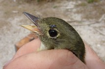 An Acadian Flycatcher with larval neotropical ticks around its eyes. (Courtesy Tim Guida).