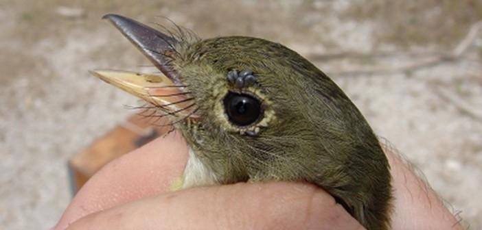 Songbirds Bring Exotic Strain of Ticks to Texas
