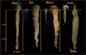 Kernza root systems are longer than wheat root systems. Photo courtesy of Civil Eats.
