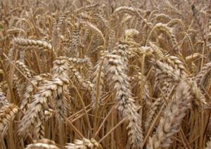 Wheat. Photo courtesy of Nick Saltmarsh.