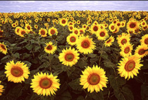 Sunflowers and cereal rye are good cover crops in a no-till system. Photo courtesy of USDA.