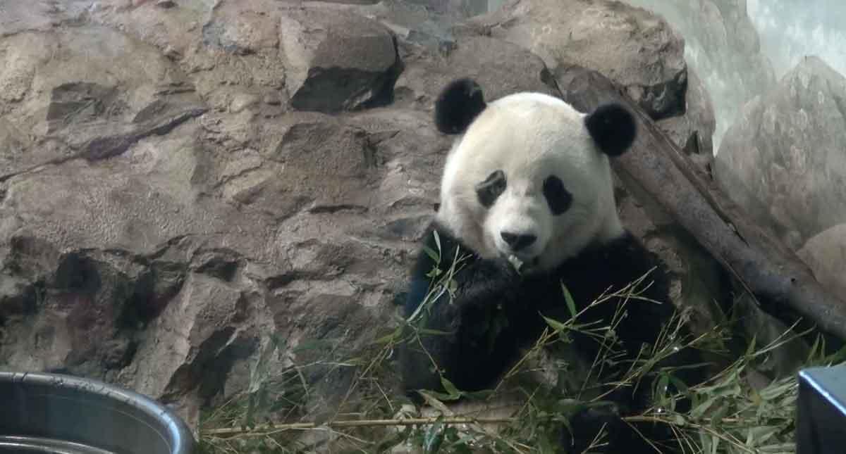 Giant Panda Baobao celebrates third birthday