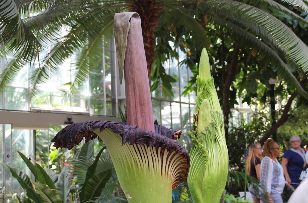 DC's Stinky Triple Corpse Flower Bloom Draws Thousands