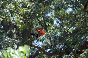 ITCC, tree climbing, arboriculture, arborist, National Arboretum
